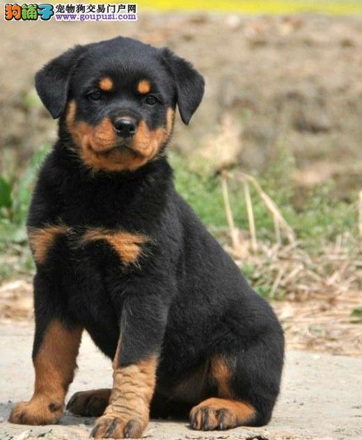 纯种健康高品质罗威纳幼犬