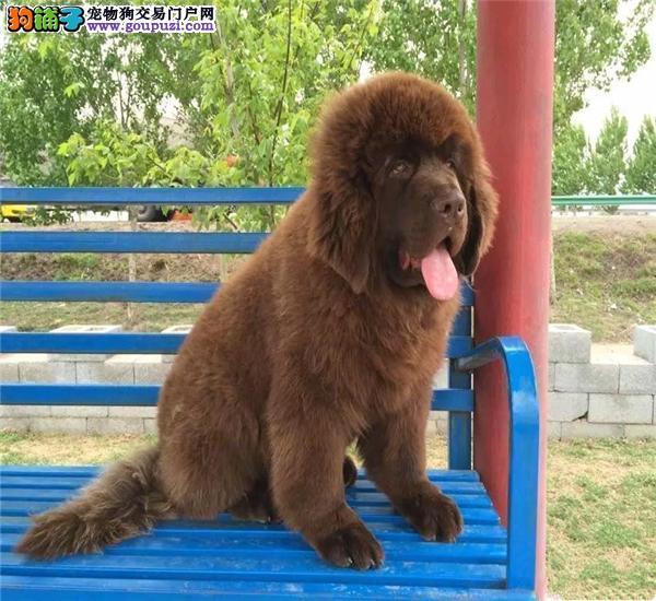 出售高品质纽芬兰犬 完美品相 品质第一 三包终生协议