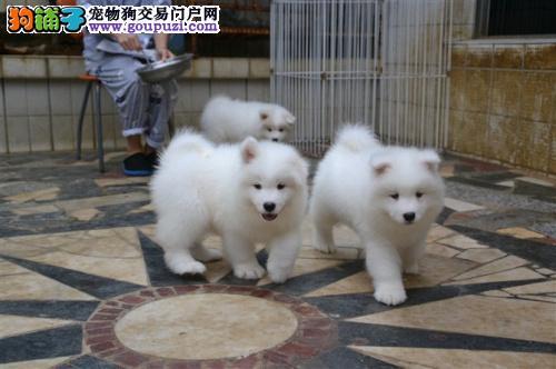 犬业直销 顶级萨摩耶犬价格合理健康纯度保障