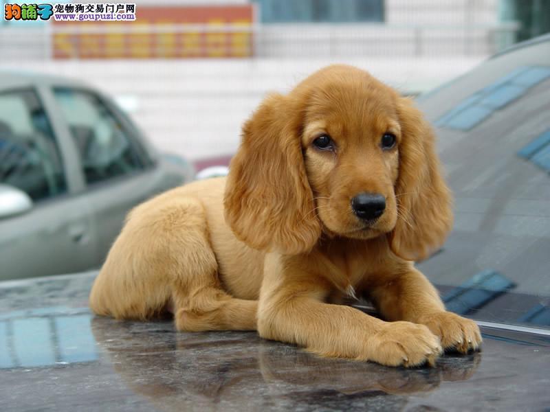 犬业直销 顶级可卡犬价格合理健康纯度保障