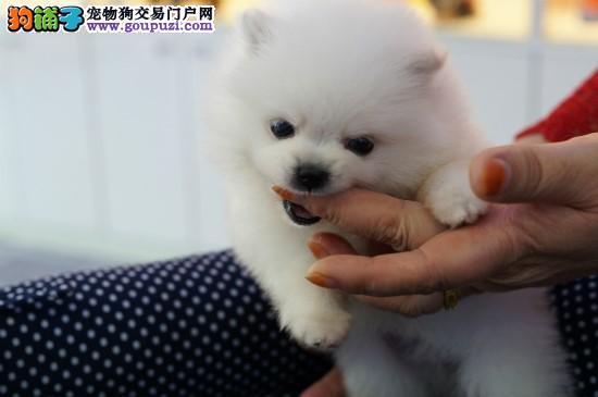 犬业直销 顶级银狐犬价格合理健康纯度保障