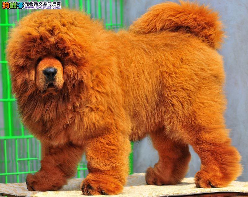 犬业直销 顶级藏獒犬价格合理健康纯度保障