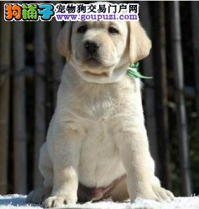犬业直销 顶级金拉布拉多价格合理健康纯度保障