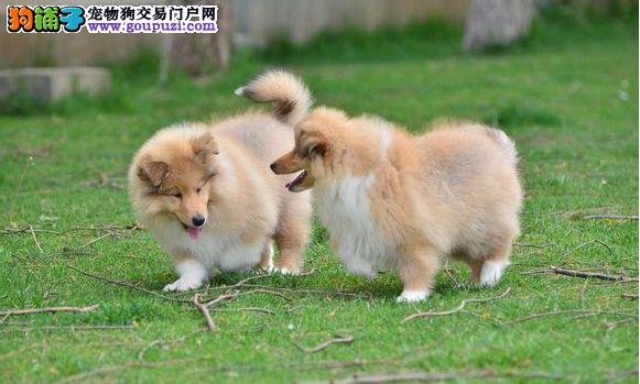哪里出售喜乐蒂幼犬 多少钱一只