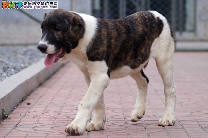 CKU认证犬舍 专业出售极品 中亚牧羊犬幼犬质保协议疫苗驱虫齐全