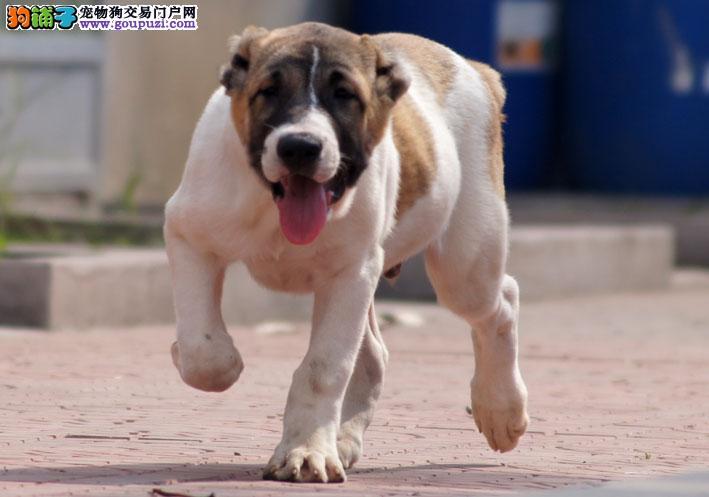 百分百健康纯种中亚牧羊犬热卖中微信看狗真实照片包纯