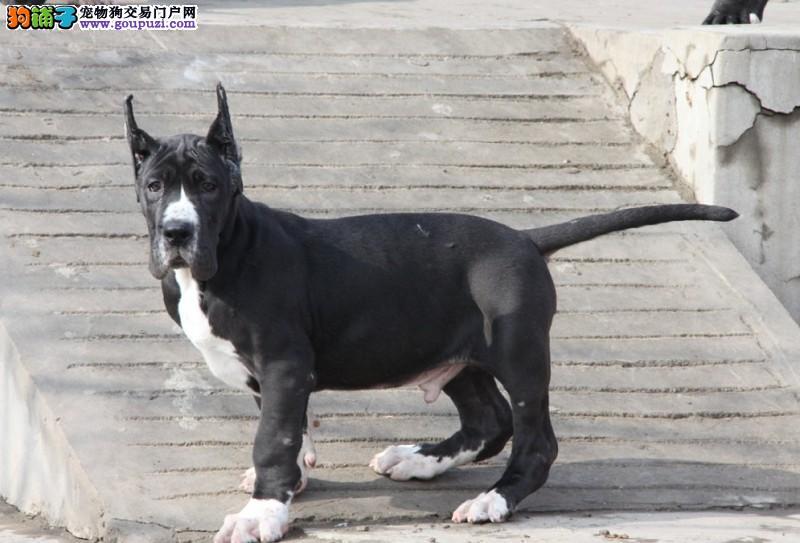 出售极品大丹犬幼犬完美品相当地上门挑选