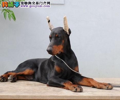 呼和浩特热卖杜宾犬多只挑选视频看狗上门可见父母