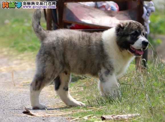 中亚牧羊犬患上细小拉稀带血