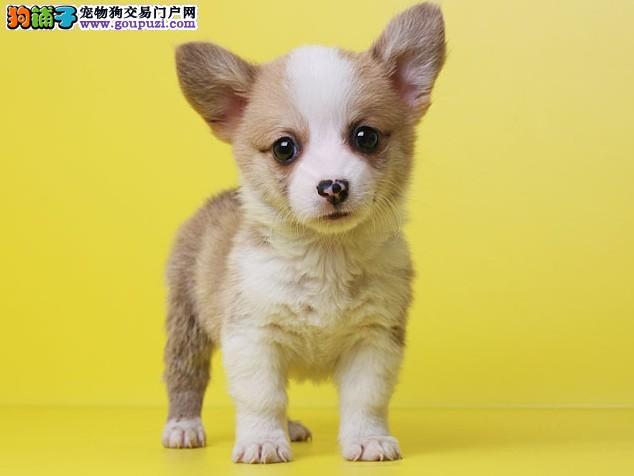 签协议保健康最起码的保障 纯种柯基幼犬出售繁殖精品