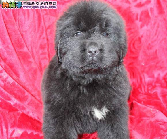 高品质纽芬兰幼犬出售了 疫苗做完 质量三包