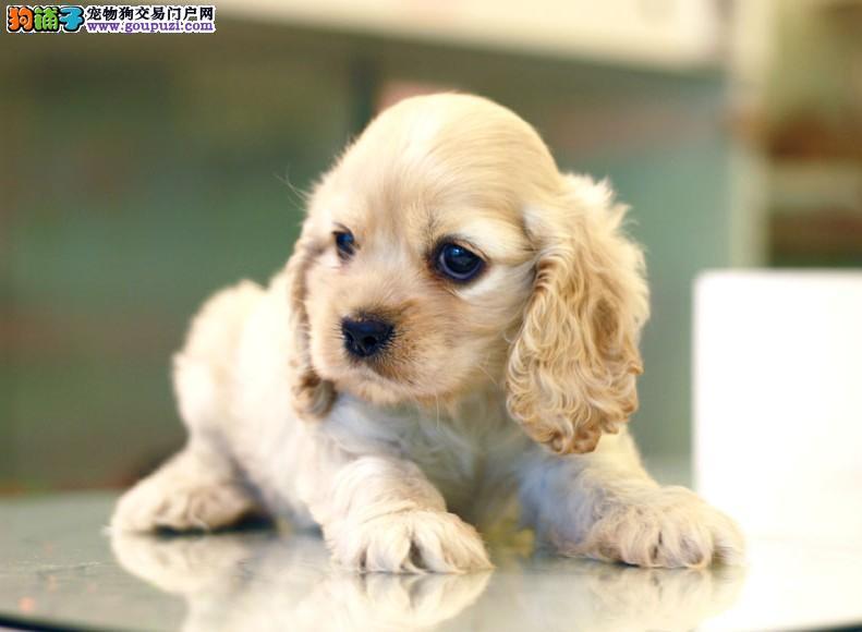 精品可卡幼犬一对一视频服务买着放心签订保障协议