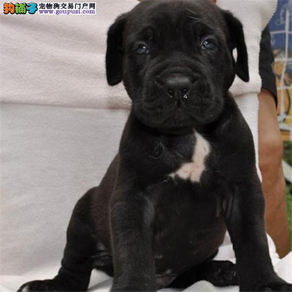 火爆出售血统纯正的南京卡斯罗犬微信看狗真实照片包纯