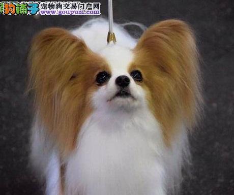 观赏蝴蝶犬哪里的狗狗品种最好最便宜