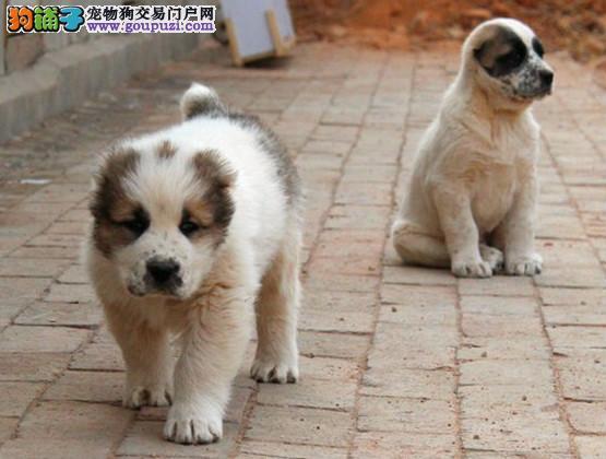 高品质的哈尔滨中亚牧羊犬找爸爸妈妈包养活送用品