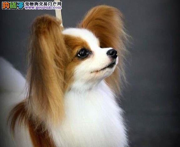 出售蝴蝶犬尊贵与美貌相并存,拥有它是你不二的选择