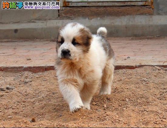 CKU犬舍认证出售纯种中亚牧羊犬多种血统供选购