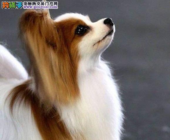 华丽精品萌货长沙蝴蝶犬价格优惠出售可签协议质保终身