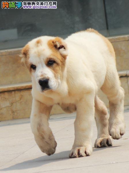 连云港市出售中亚牧羊犬 公母都有 疫苗齐全 全国包邮