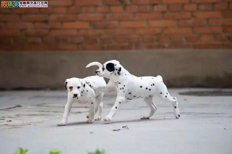 四个月的斑点狗口吐黄水是什么情况