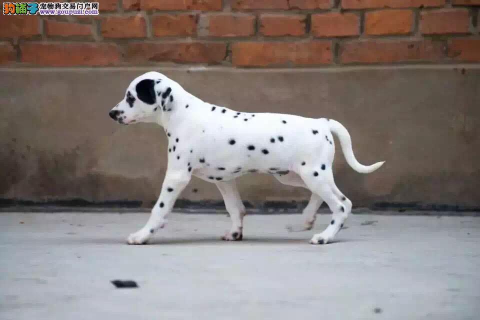 斑点狗有点缺钙站不稳