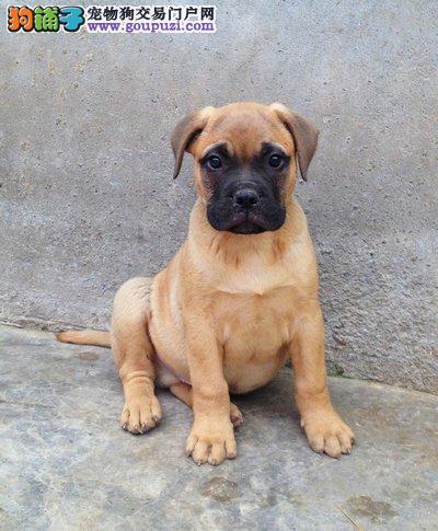 专业繁殖中心售顶级精品卡斯罗幼犬 纯种健康签订协议2