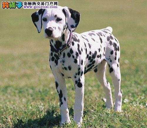 纯正血统狗赛级犬品相忠实的伴侣犬 大麦町/斑点狗/1
