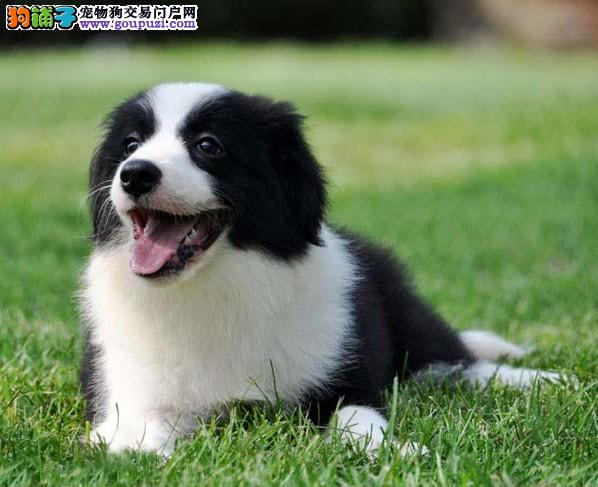 边境犬繁殖基地,品质信得过,售后有保证