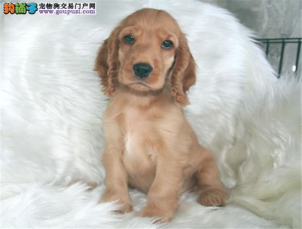 正规可卡犬繁殖基地,品质信得过,售后有保证