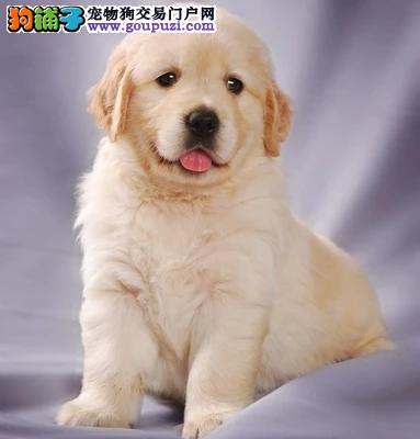 金毛犬繁殖基地,品质信得过,售后有保证