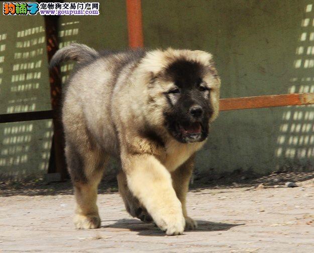 高加索犬繁殖基地,品质信得过,售后有保证