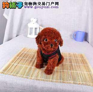 正规茶杯犬繁殖基地,品质信得过,售后有保证