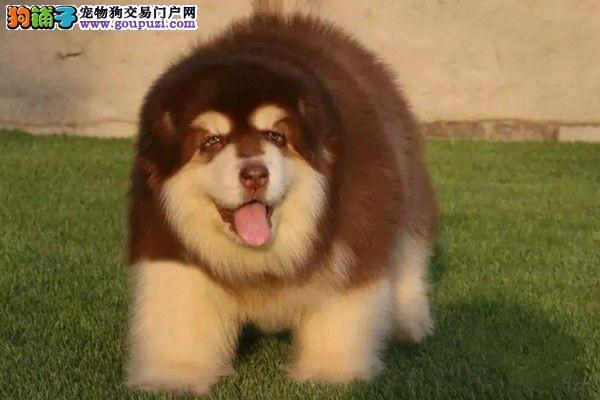 阿拉斯加犬繁殖基地,品质信得过,售后有保证