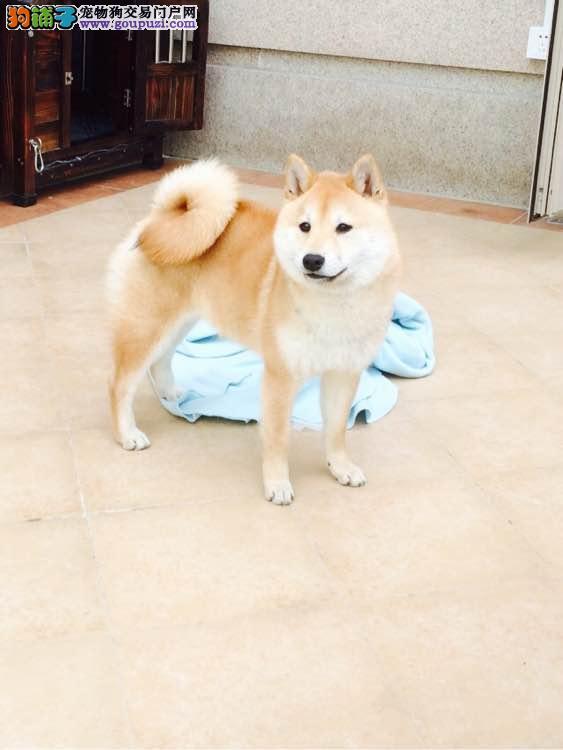 日本引进纯种小柴张掖正规养殖售日本柴犬终身售后保障