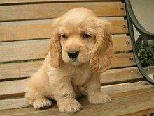 咸阳活泼可爱可卡犬赛级品相纯种可卡幼犬保健康包纯种