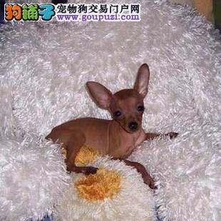 景德镇聪明忠诚的迷你小鹿犬幼犬出售质量三包物美价廉
