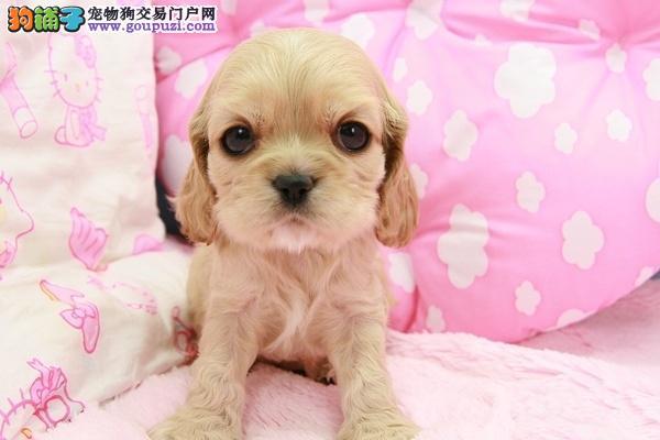 武汉自家出售高品质可卡犬血统纯正保证健康完美售后