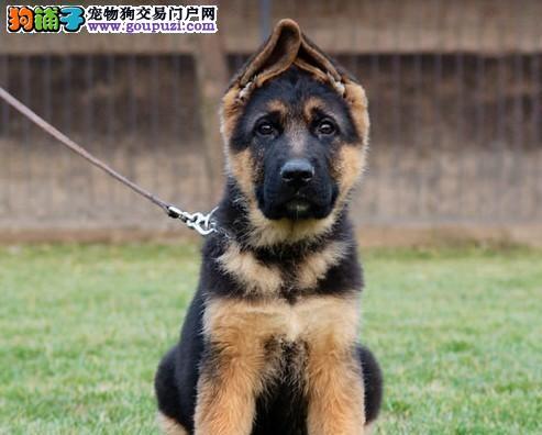 出售昆明犬公母都有品质一流诚信经营三包终身协议1