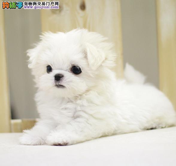贵阳知名犬舍出售多只赛级马尔济斯加微信送用品