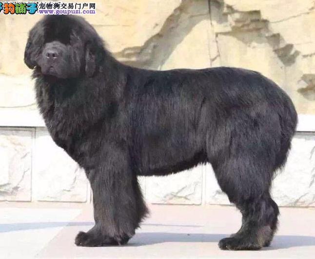 纽芬兰犬武汉最大的正规犬舍完美售后专业繁殖中心值得信赖1