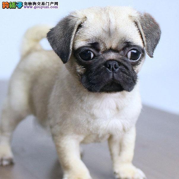 出售健康纯正的巴哥幼犬憨厚可掬体态惹人怜爱签协议
