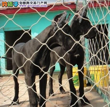 广州自家繁殖精品高品质大丹犬 花丹金丹黑丹均有