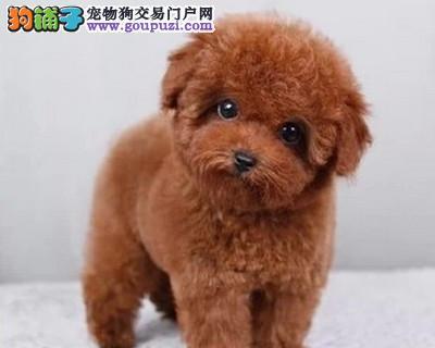 多种颜色的茶杯犬找爸爸妈妈购犬可签协议