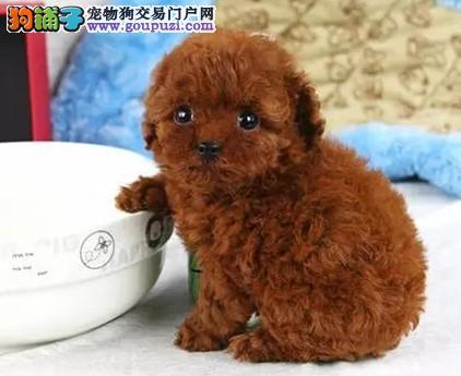 贵阳正规犬舍高品质茶杯犬带证书签协议上门选