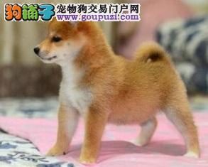 深圳赛级品质纯血统柴犬出售健康疫苗驱虫全可签订协议