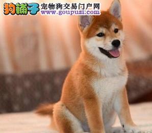 赛级日本柴犬幼犬出售 品相好血统纯可看父母价可面议