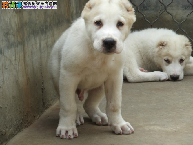 专业繁殖纯种杭州中亚牧羊犬疫苗齐全欢迎您的指导