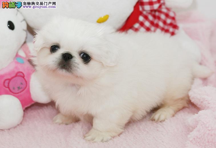 纯种宫廷京巴幼犬出售 保质保健康 有协议有保障超赞