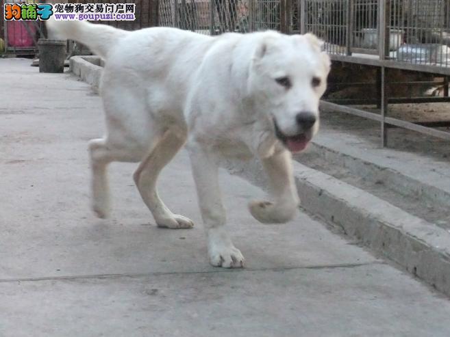 多种颜色的赛级中亚牧羊犬幼犬寻找主人全国质保全国送货3