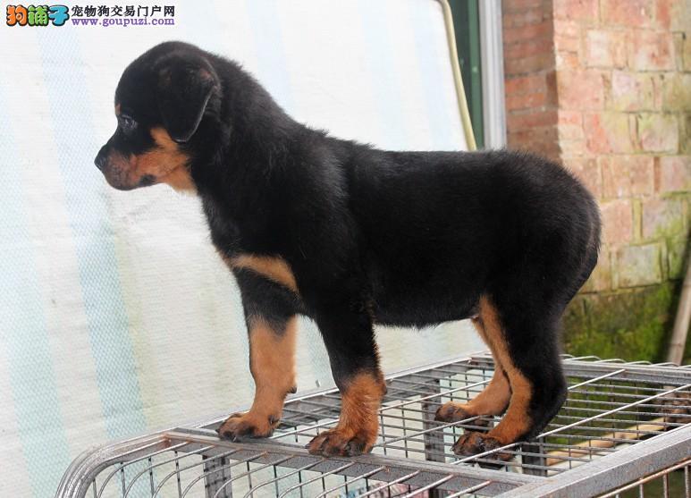 家养罗威纳出售 可看狗狗父母照片 专业信誉服务